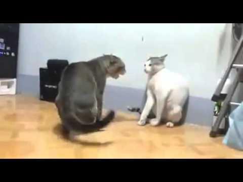 Kucing main tepuk amai-amai