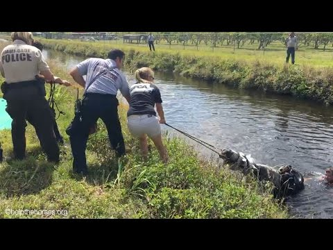 Horse Rescued from Canal - APR 24 2016