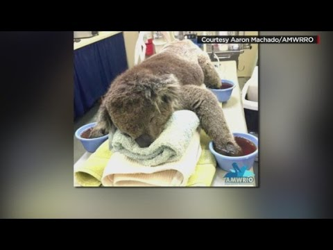 Rescued koala gets a 'manicure'