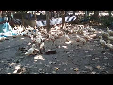 White Pekin Duck Farming Vigova M