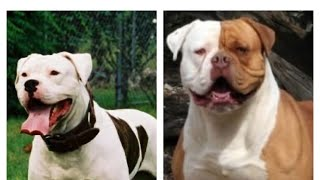 American Bulldog History: Origin and Types