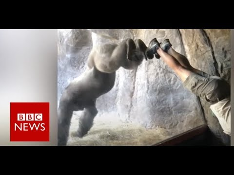 Gorilla learns handstand in Florida zoo- BBC News