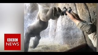 Gorilla learns handstand in Florida zoo- BBC News thumbnail