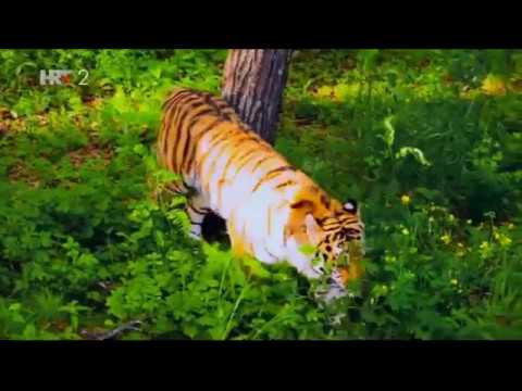 Amurski tigar - put do svete planine, dokumentarni film