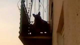 Wilk na balkonie