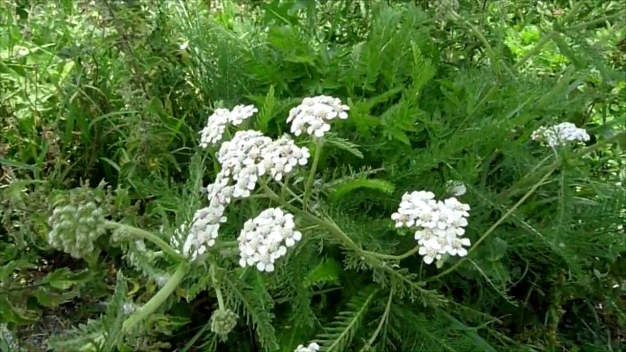 Las mejores plantas para tu salud por Antonio Vega. Propiedades de ...