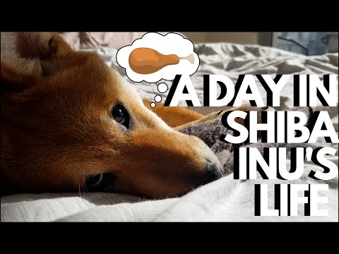 Download A Day in the Life of Two Shiba Inu Dogs🌻
