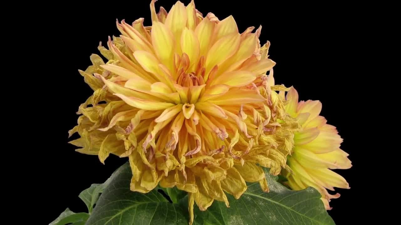 Yellow Dahlia Flower Withering Stock Video Youtube