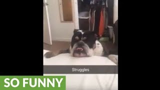 Bulldog struggles to jump on the bed