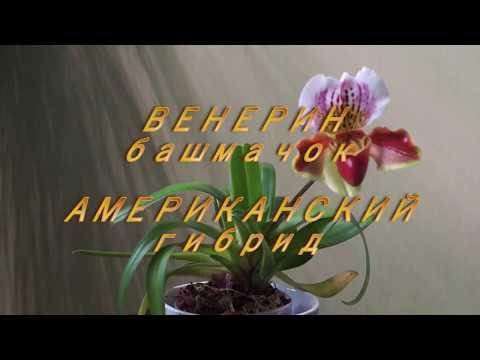 Орхидея Венерин Башмачок, Американский гибрид - орхидея для новичков.