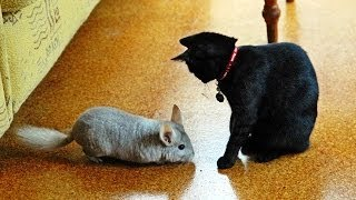 Chinchilla vs Cat
