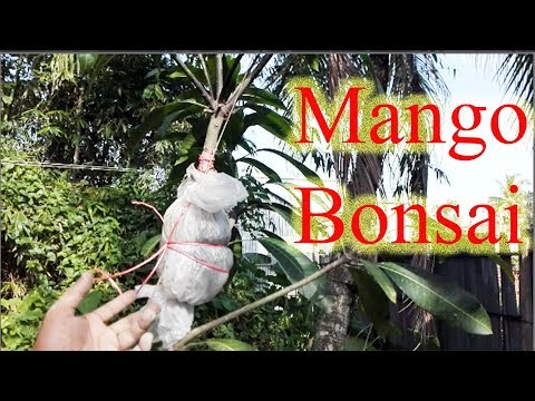Mango bonsai tree making techniques   Big mango tree grafting at home