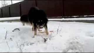 Бурят-монгольская собака.  Лапе год