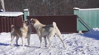 Вам нужна ОХРАНА дома? ОХРАНА семьи? Грузинская горная собака
