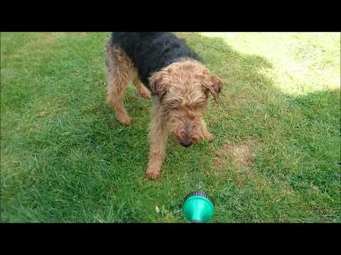 Olive the Welsh Terrier playing with water