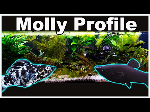 Molly Fish Care And Breeding: Let's Clear Up All The Confusion!