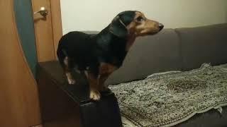 Дрессировка собак в Барнауле. Маленькая собачка выполняет команды комплекса ОКД.