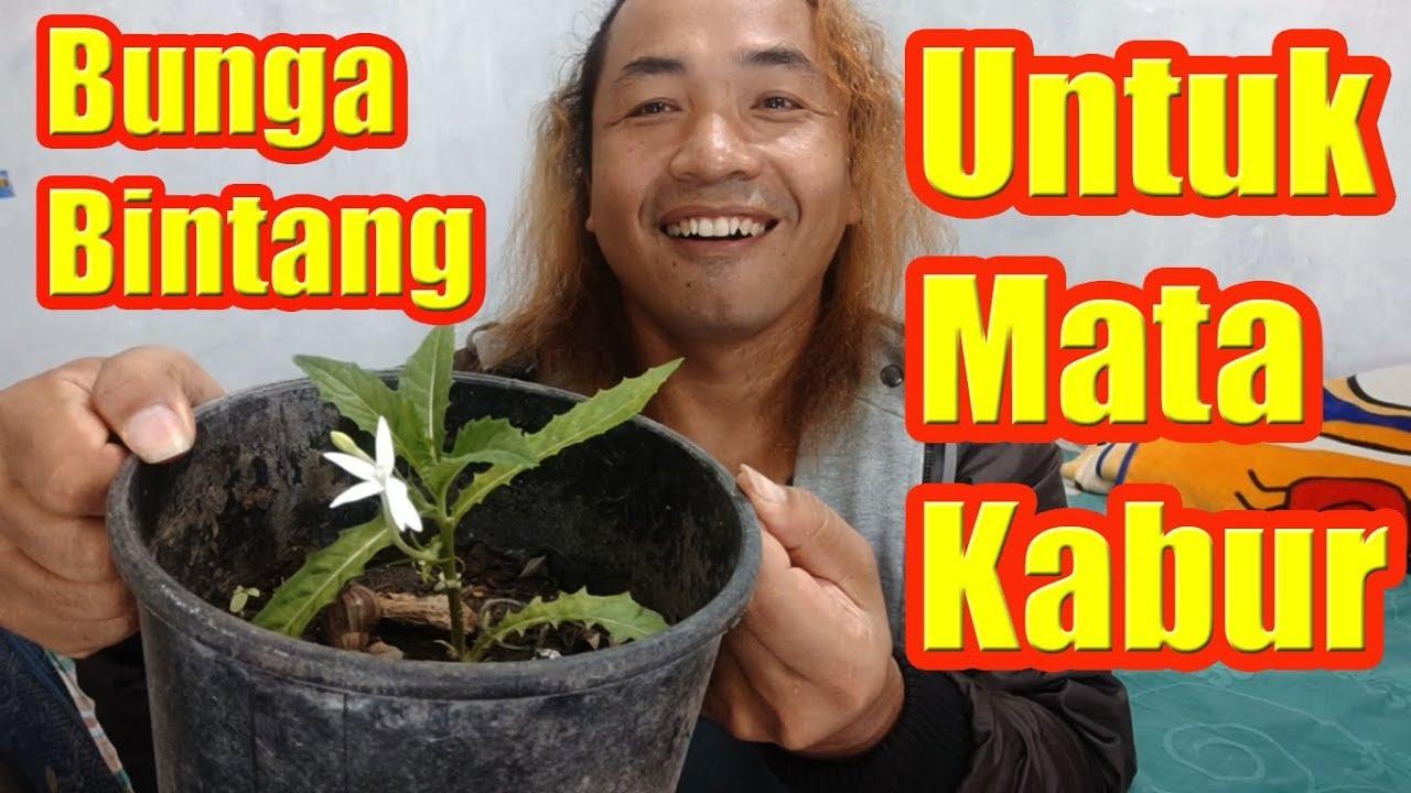 Alan Kribo Bunga Bintang Receh Bermanfaat Untuk Mata Ini Bukti Youtube