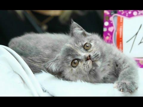 Кошки шотландской породы прямоухие фото