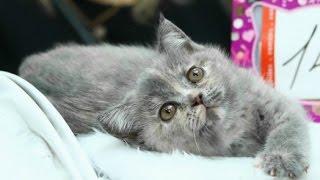 Шотландская Порода - няшный Котенок, Скоттиш Страйт, Породы Кошек