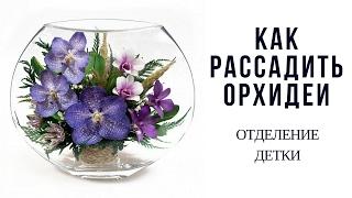 видео Орхидея дала детку