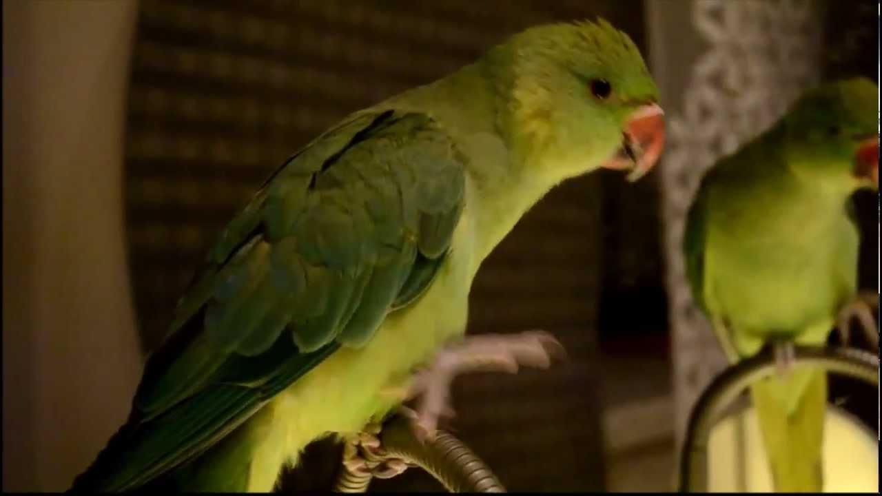 Ожереловый попугай Феникс дает лапку,поет песенки, короче няшка :3(Ring-necked Parot sing rock song)