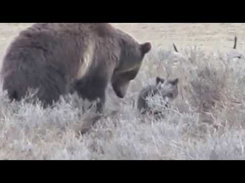 Grizzly bear mama with cub hunting Unita ground squirrels - Yellowstone NP WY