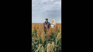2020 NeSPA Hybrid Plot at Trenton   Golden Acre Seeds