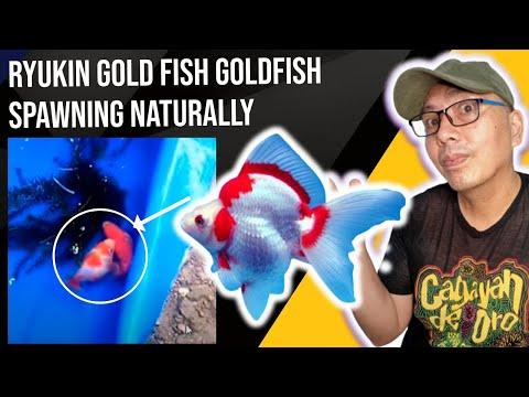Ryukin Goldfish Breeding That You Need To Know Youtube