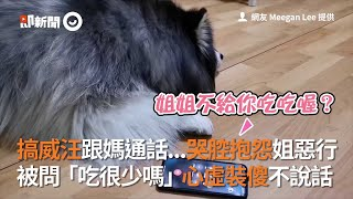 狗狗跟媽通話,竟哭腔栽贓姐姐惡行,被問關鍵一句心虛裝傻不說話|搞威|雪橇犬