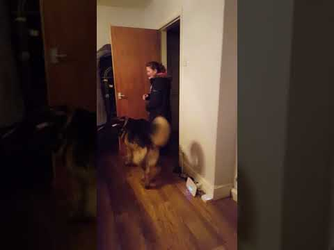 Super excited German Shepherd, gives his mom a big welcome home with hugs and kisses !!