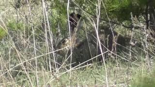 Заяц-русак. ( Lepus europaeus )