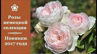 ❀ Розы немецкой селекции. Новинки 2017 года
