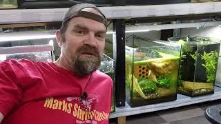 How To Breed Dream Blue Velvet Neocaridina Shrimp 2019