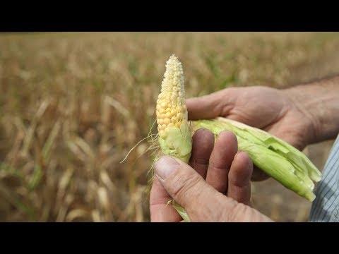 Небывалая засуха: фермерам