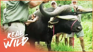 Darting A Dangerous Buffalo (Wildlife Documentary) | Capture Wild School S1 EP6 | Real Wild