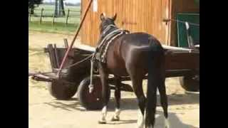 Horse abuse, carrige driving training