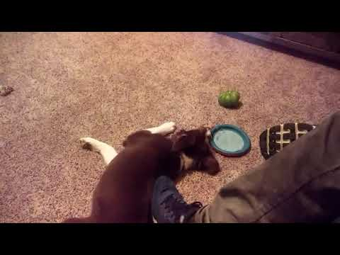 Puppy gets vegetables #puppy#cute#vegetables #play#fun#funny#funny dog#dog