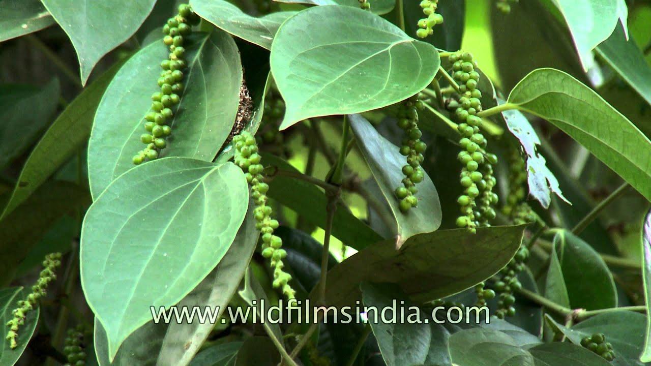 Black pepper cultivation in Kerala - YouTube