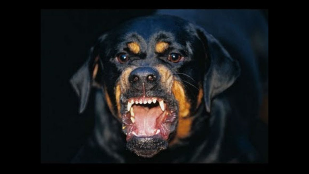 Rottweiler Dog Breeds Youtube