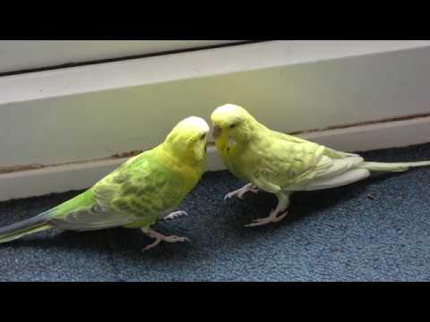 Two Beautiful Budgies - 4K Ultra Hd 2160p Video - Original