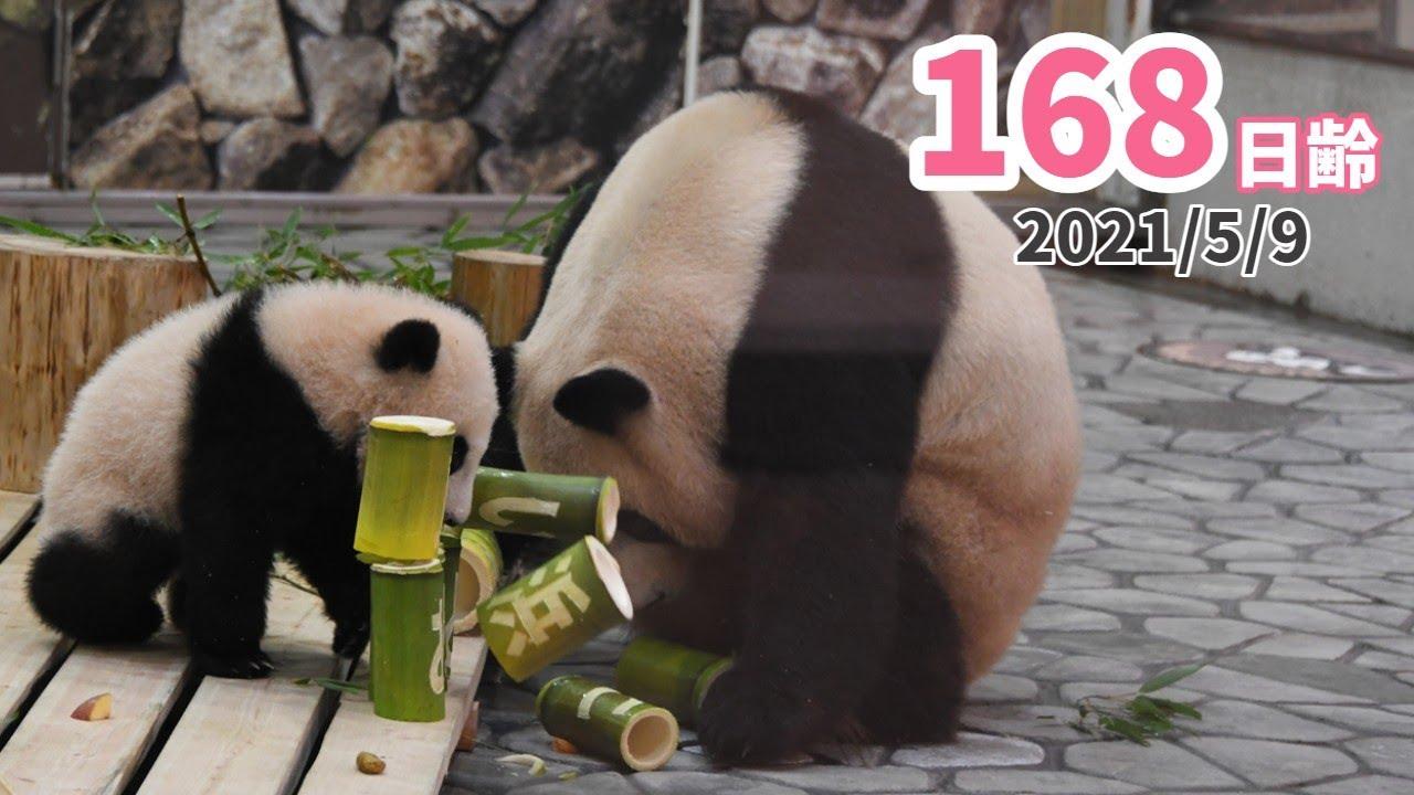 【パンダの赤ちゃん(楓浜)】破壊王、現る!!!(168日齢)