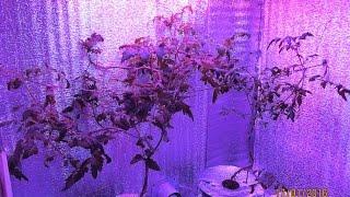 1.3 Помидоры на гидропонике(Помидоры на гидропонике. С прошлого видео прошло 2 месяца. Ухода за растениями почти не было, только подлива..., 2016-01-17T10:58:51.000Z)