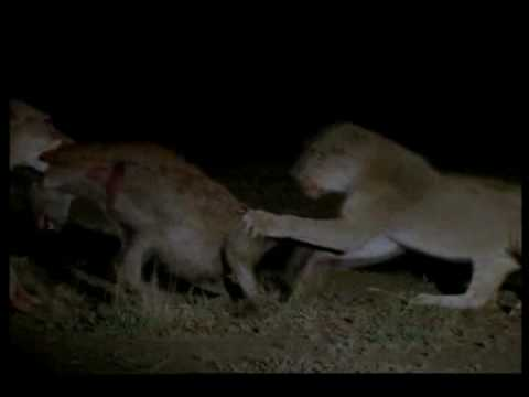 female lions vs hyenas.