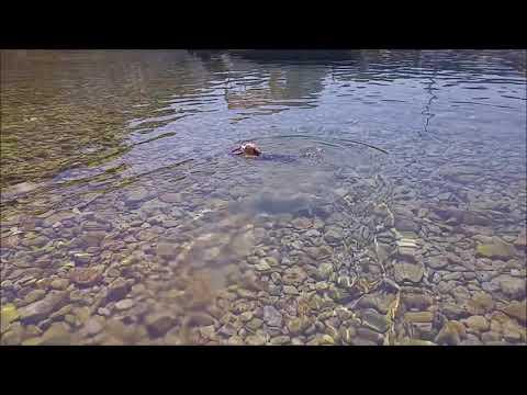 Yorkshire swimming dog