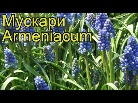 Мускари Армениакум (Armeniacum). Краткий обзор, описание характеристик, где купить луковицы, саженцы