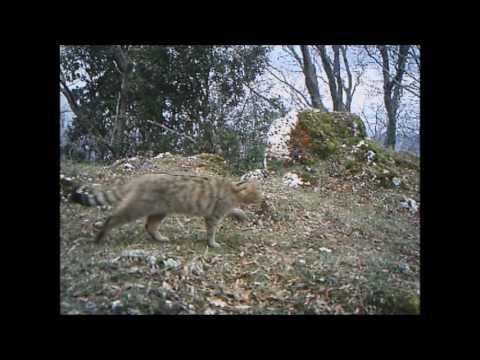 Gatto Selvatico Youtube