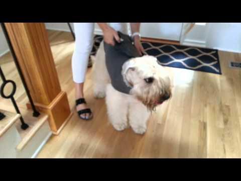 Putting Thundershirt On Dog