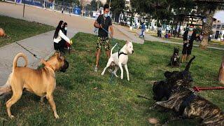 Gran encuentro de Presa canario, Dogo argentino, Rottweiler  caminata
