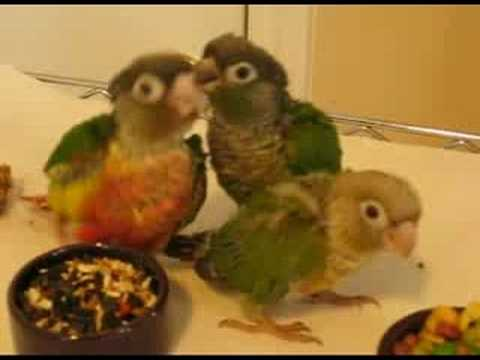 How to Care for a Green-Cheeked Conure Parrot | PetHelpful